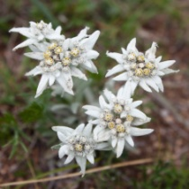 stock-photo-10411125-edelweiss