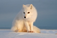 stock-photo-5311503-polar-fox