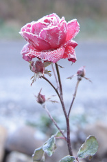 stock-photo-68757665-red-rose-covered-with-frost
