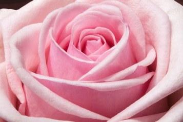rose-373790__340