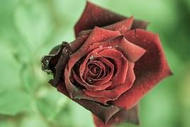 rose-615016__180