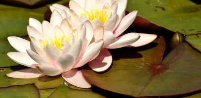 water-lily-2823497__340